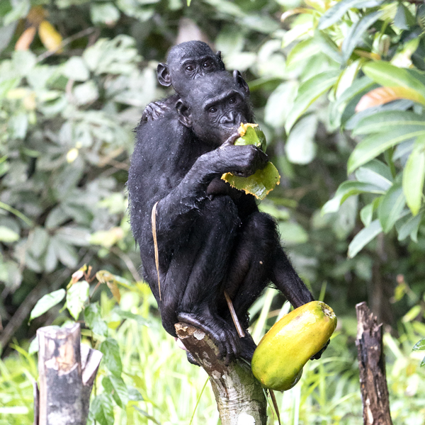 Bonobo mother and baby eating Papaya fruit.